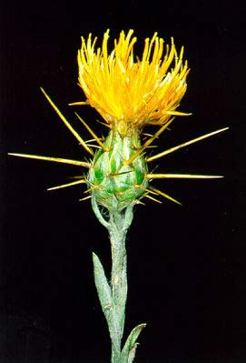 the yellow starthistle